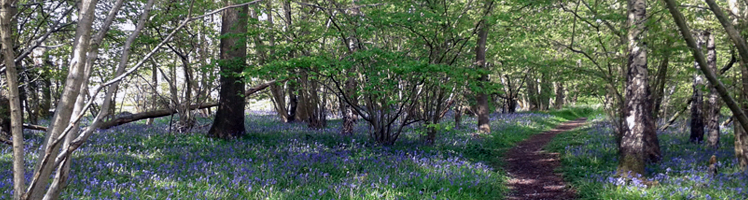 Photo of the woodland at QEII with a beautiful carpet of Bluebells in bloom